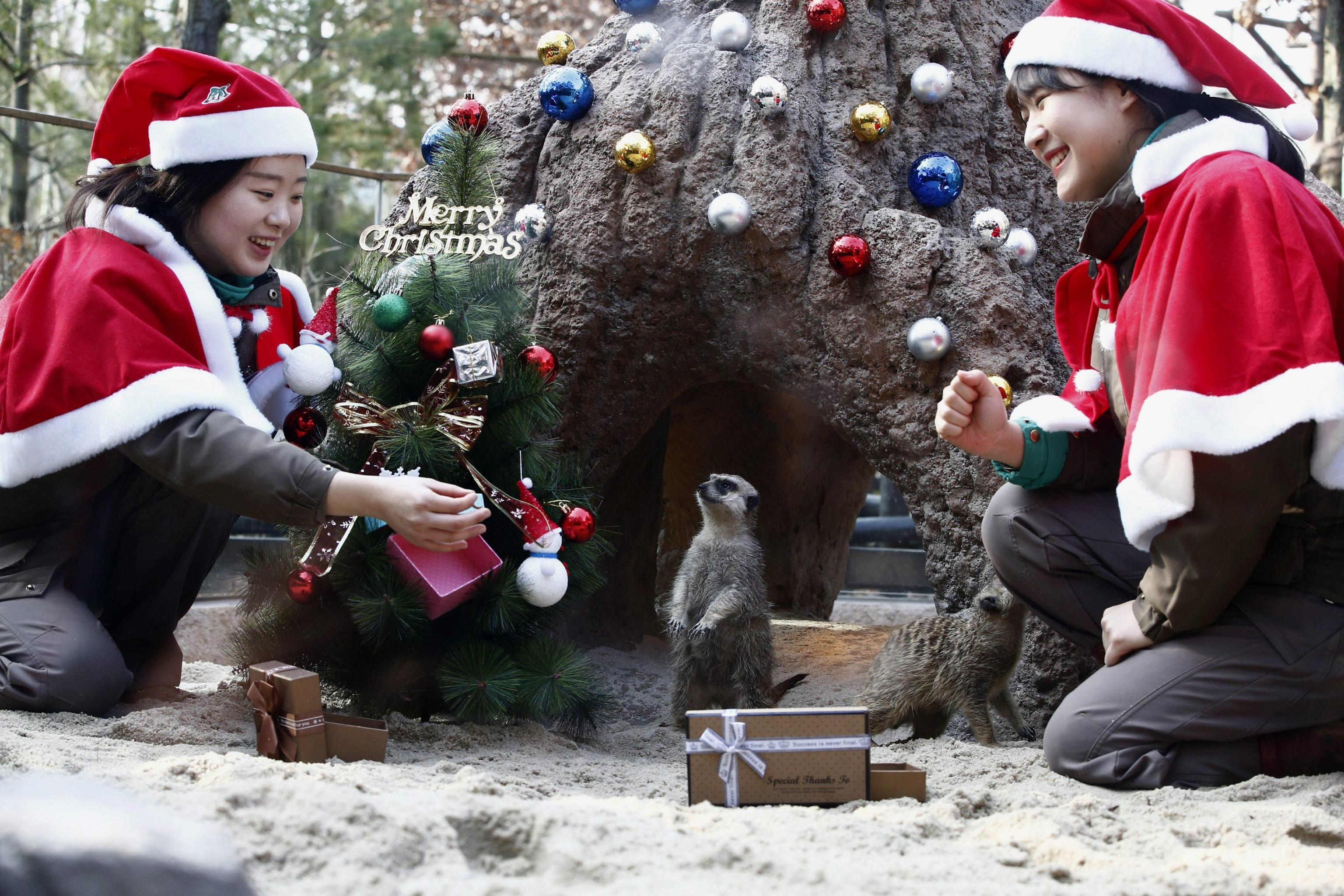 South Korean Everland amusement park employees wearing Santa Claus hats and collars decorate a Christmas tree in the Meerkat enclosure on the occasion of the Christmas holiday season at South Korea's largest amusment park 'Everland'