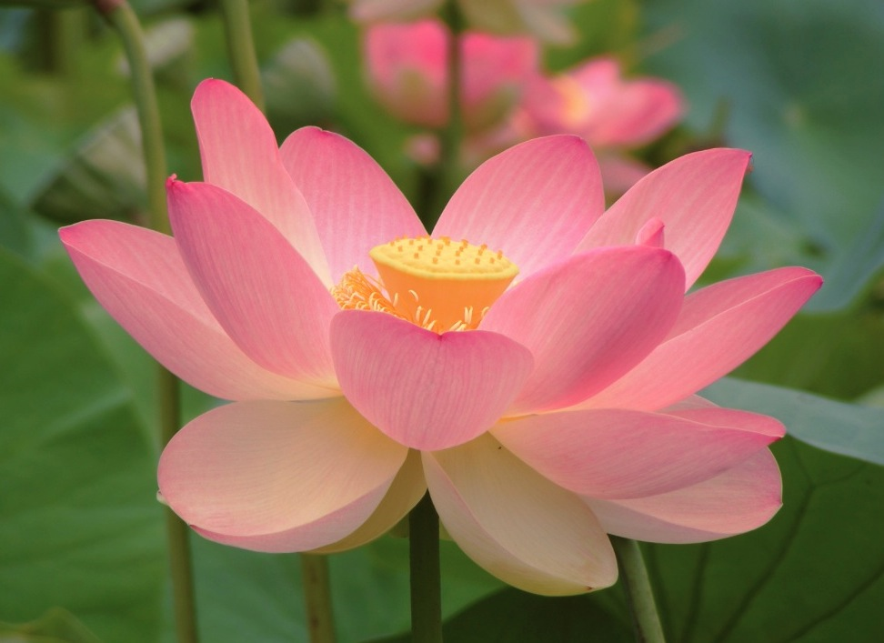 La flor de loto, símbolo del budismo. (Wiki commons cc- Peripitus)
